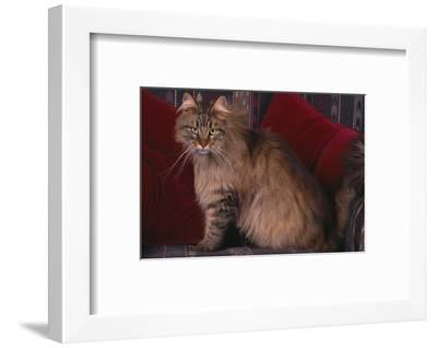 Maine Coon Cat on Chair-DLILLC-Framed Photographic Print