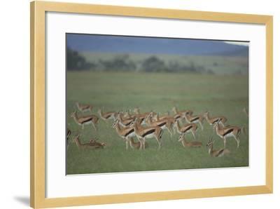 Thomson's Gazelle-DLILLC-Framed Photographic Print