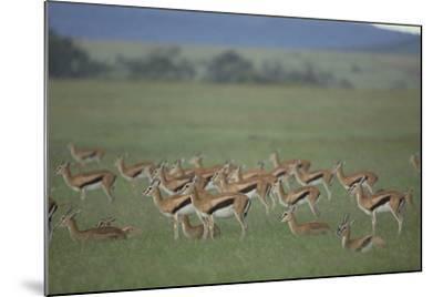 Thomson's Gazelle-DLILLC-Mounted Photographic Print