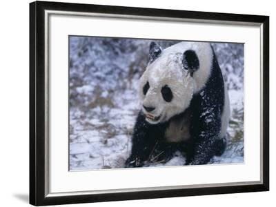 Giant Panda Sitting in Snow-DLILLC-Framed Photographic Print
