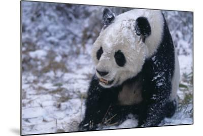 Giant Panda Sitting in Snow-DLILLC-Mounted Photographic Print