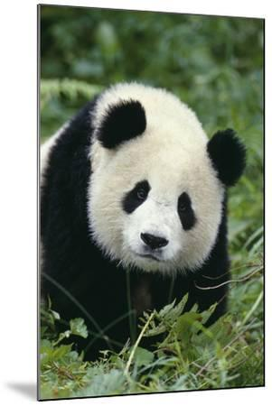 Giant Panda in Grass-DLILLC-Mounted Photographic Print