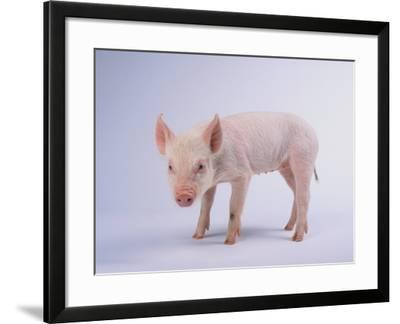 Yorkshire Pig-DLILLC-Framed Photographic Print