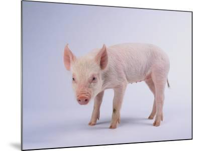 Yorkshire Pig-DLILLC-Mounted Photographic Print