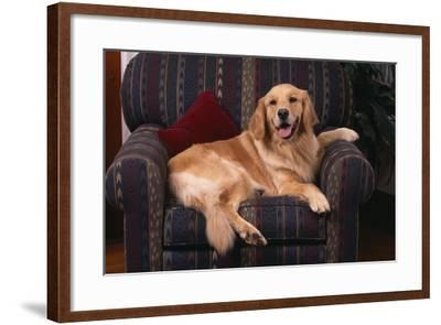 Golden Retriever Sitting in Armchair-DLILLC-Framed Photographic Print
