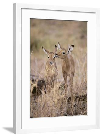 Young Impala Friends Nuzzling-DLILLC-Framed Photographic Print