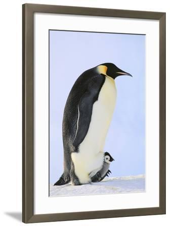 Emperor Penguin Protecting Offspring from the Cold-DLILLC-Framed Photographic Print