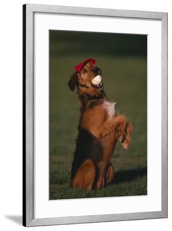 Airedale Terrier with Baseball in Mouth-DLILLC-Framed Photographic Print