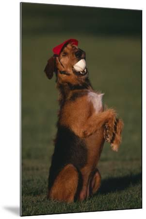 Airedale Terrier with Baseball in Mouth-DLILLC-Mounted Photographic Print