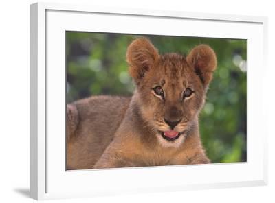 African Lion Cub-DLILLC-Framed Photographic Print
