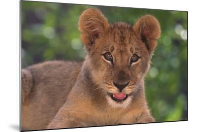African Lion Cub-DLILLC-Mounted Photographic Print