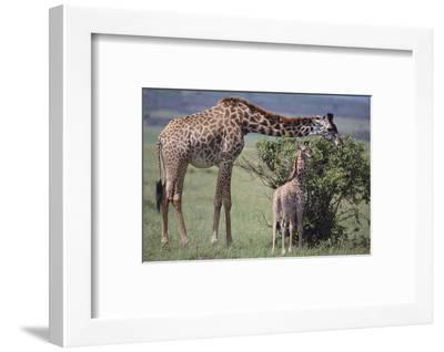 Mother and Baby Giraffe Grazing Together-DLILLC-Framed Photographic Print
