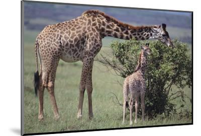 Mother and Baby Giraffe Grazing Together-DLILLC-Mounted Photographic Print