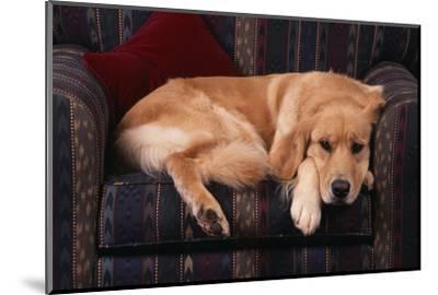 Golden Retriever Sitting in Armchair-DLILLC-Mounted Photographic Print
