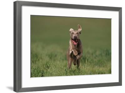 Excited Weimaraner Running in Field-DLILLC-Framed Photographic Print