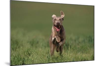 Excited Weimaraner Running in Field-DLILLC-Mounted Photographic Print