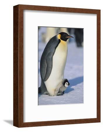 Emperor Penguin Warming its Baby-DLILLC-Framed Photographic Print