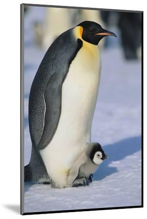 Emperor Penguin Warming its Baby-DLILLC-Mounted Photographic Print