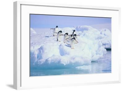 Adelie Penguins-DLILLC-Framed Photographic Print