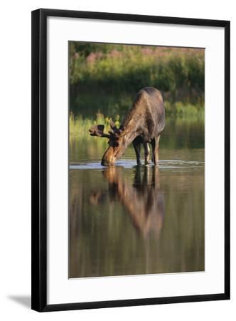 Moose Drinking-DLILLC-Framed Photographic Print
