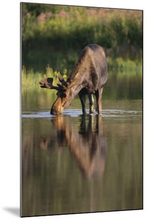Moose Drinking-DLILLC-Mounted Photographic Print