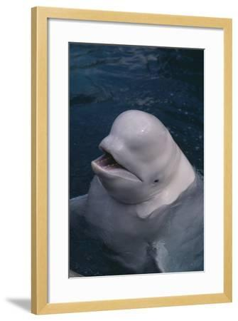 Beluga Whale Spyhopping-DLILLC-Framed Photographic Print