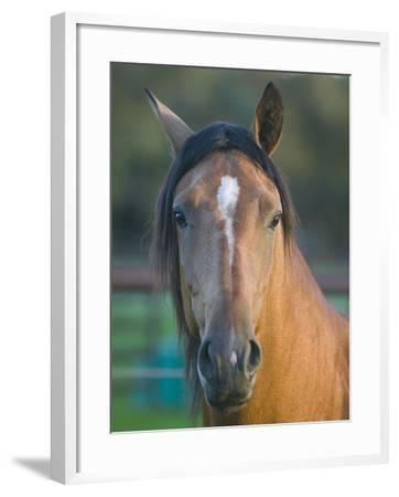 Peruvian Paso Horse-DLILLC-Framed Photographic Print