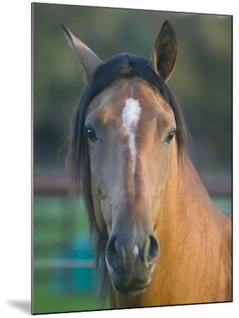 Peruvian Paso Horse-DLILLC-Mounted Photographic Print