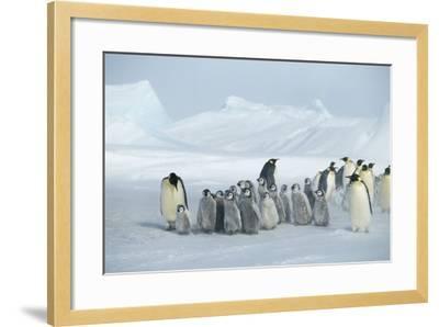 Emperor Penguins on Ice-DLILLC-Framed Photographic Print