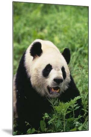 Panda in Grass-DLILLC-Mounted Photographic Print