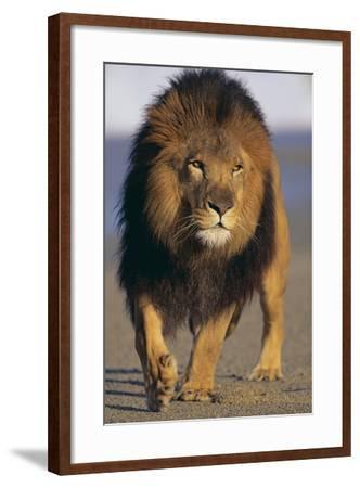 Lion Walking on Sand-DLILLC-Framed Photographic Print