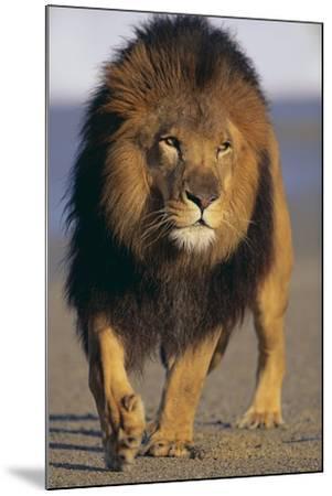 Lion Walking on Sand-DLILLC-Mounted Photographic Print