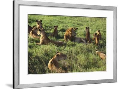 Pride of Lions Lying in Grass-DLILLC-Framed Photographic Print