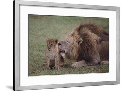 Adult Lion Cleaning Cub-DLILLC-Framed Photographic Print