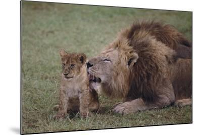 Adult Lion Cleaning Cub-DLILLC-Mounted Photographic Print