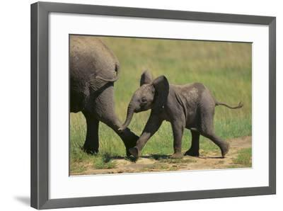 African Elephant Calf following Mother-DLILLC-Framed Photographic Print