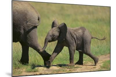 African Elephant Calf following Mother-DLILLC-Mounted Photographic Print