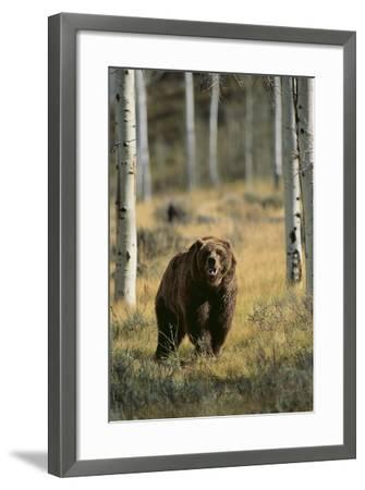 Grizzly Walking among Trees-DLILLC-Framed Photographic Print