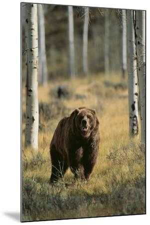 Grizzly Walking among Trees-DLILLC-Mounted Photographic Print