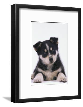 Husky Puppy-DLILLC-Framed Photographic Print