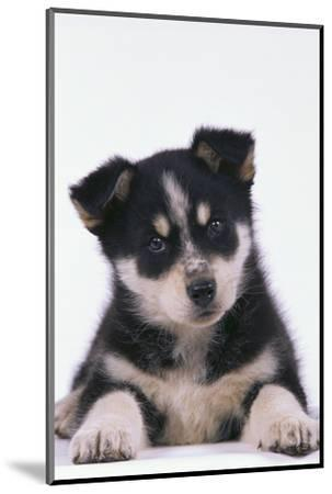 Husky Puppy-DLILLC-Mounted Photographic Print