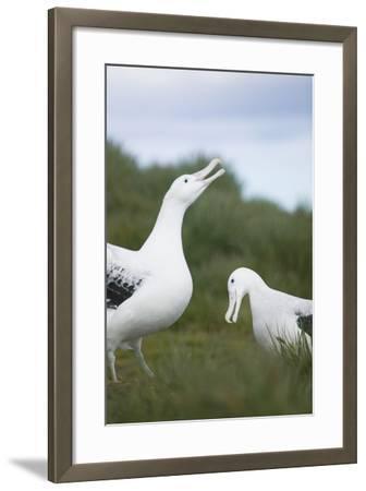 Wandering Albatross Performing Courtship Display-DLILLC-Framed Photographic Print