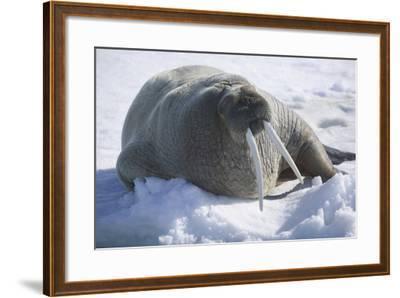 Walrus Resting on an Ice Floe-DLILLC-Framed Photographic Print