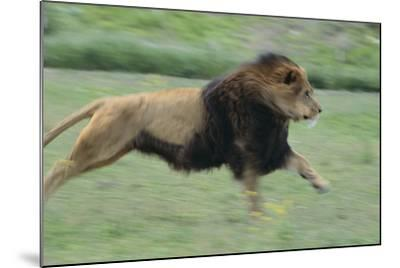 Lion Running in Grass-DLILLC-Mounted Photographic Print