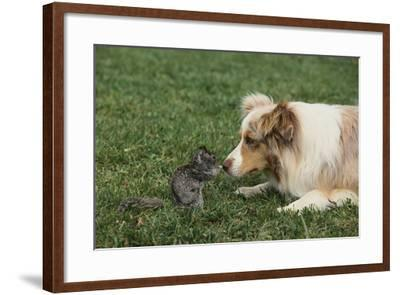 Australian Shepherd Facing off a California Ground Squirrel-DLILLC-Framed Photographic Print