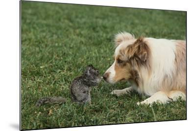 Australian Shepherd Facing off a California Ground Squirrel-DLILLC-Mounted Photographic Print