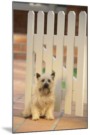 Cairn Terrier-DLILLC-Mounted Photographic Print