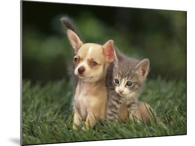 Chihuahua Puppy and Kitten-DLILLC-Mounted Photographic Print