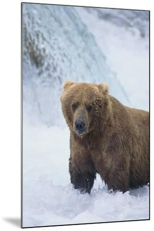 Brown Bear Standing in River-DLILLC-Mounted Photographic Print