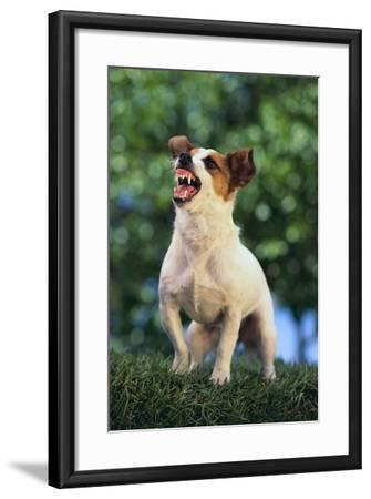 Jack Russell Terrier Bearing its Teeth-DLILLC-Framed Photographic Print